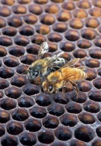Waben und Bienen